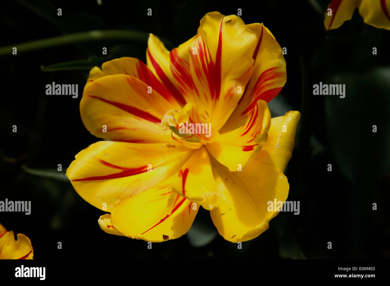 Full petaled canary yellow flowers with bright red flames certainly full petaled canary yellow flowers with bright red flames certainly make monsella eye catching and lightly fragrant too mightylinksfo