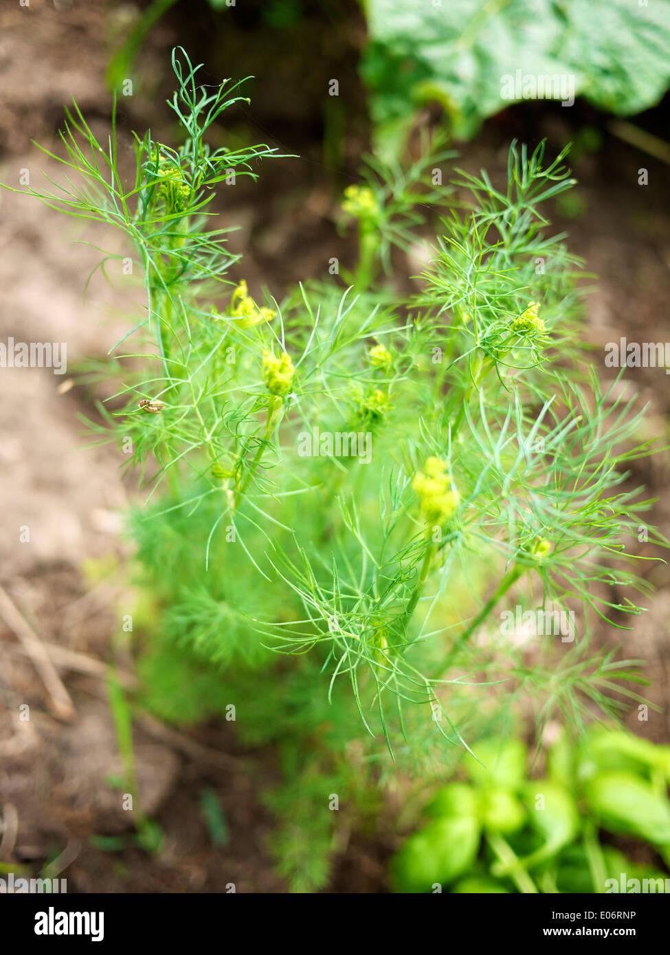 Dill (Anethum graveolens) in a garden. - Stock Image