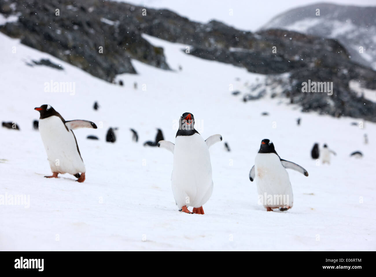 penguin with wings outstretched calling in gentoo penguin colony on cuverville island antarctica - Stock Image