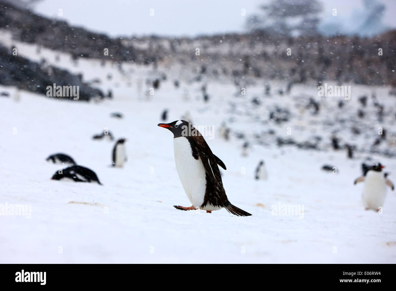 penguin walking uphill in snow storm in gentoo penguin colony on cuverville island antarctica - Stock Image