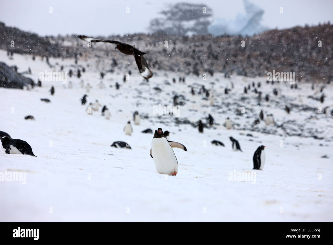 penguin with skua flying overhead in gentoo penguin colony on cuverville island antarctica - Stock Image