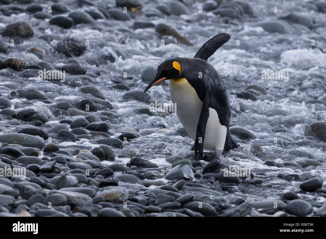 Out of Comfort zone - Penguin on Pebble Stock Photo