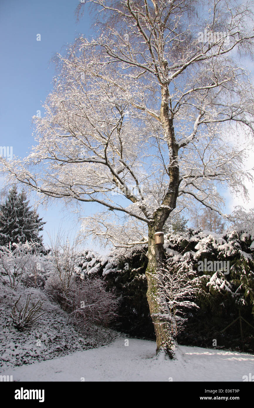 Snowy birch tree the garden at wintertime - Stock Image