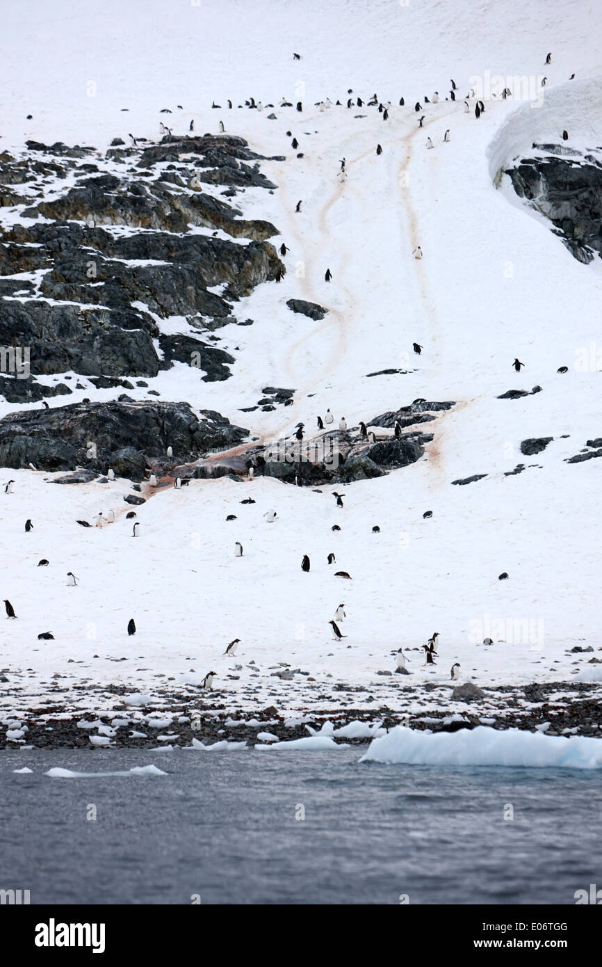gentoo penguin colony with penguin trails and routes to the sea on cuverville island antarctica - Stock Image