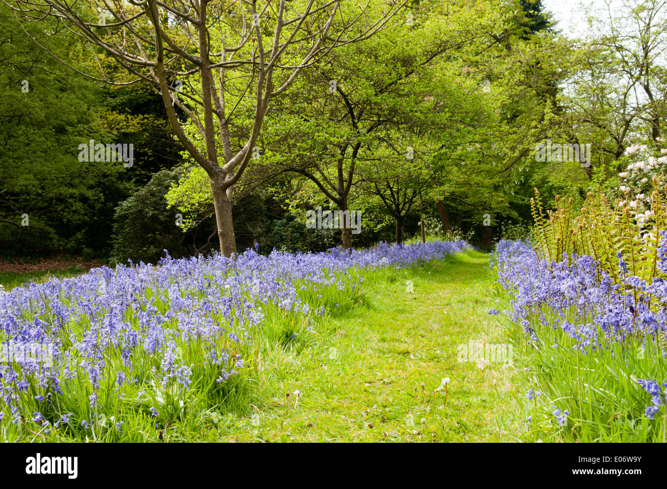 Bluebell walk in National Trust gardens at Wightwick Manor, Wolverhampton, in spring - Stock Image
