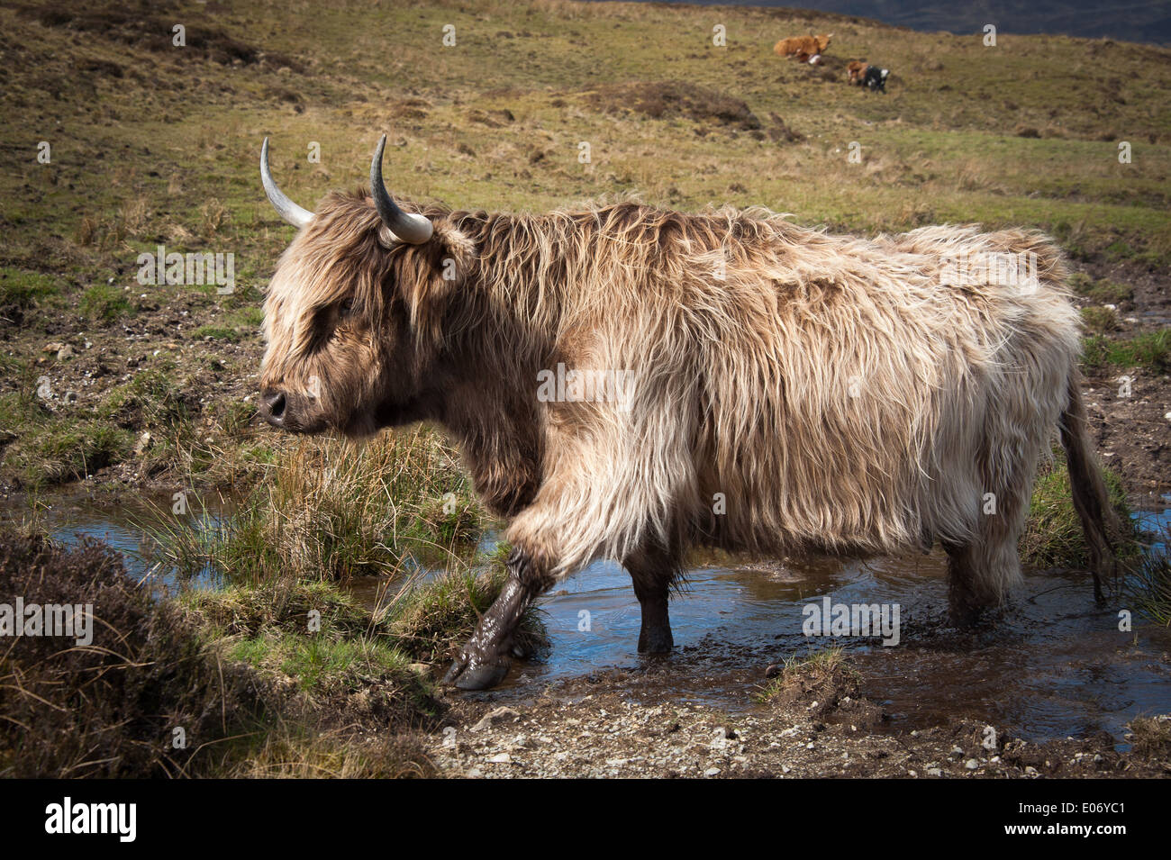 Highland cow in mud, Scotland - Stock Image