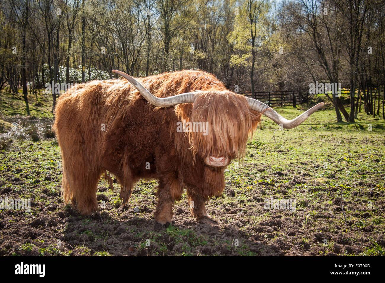Highland Cow, Scotland - Stock Image