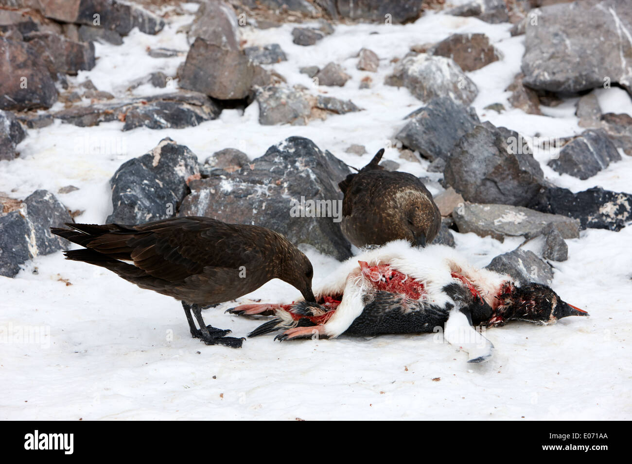 two antarctic skua picking over the remains of dead gentoo penguin neko harbour antarctica - Stock Image