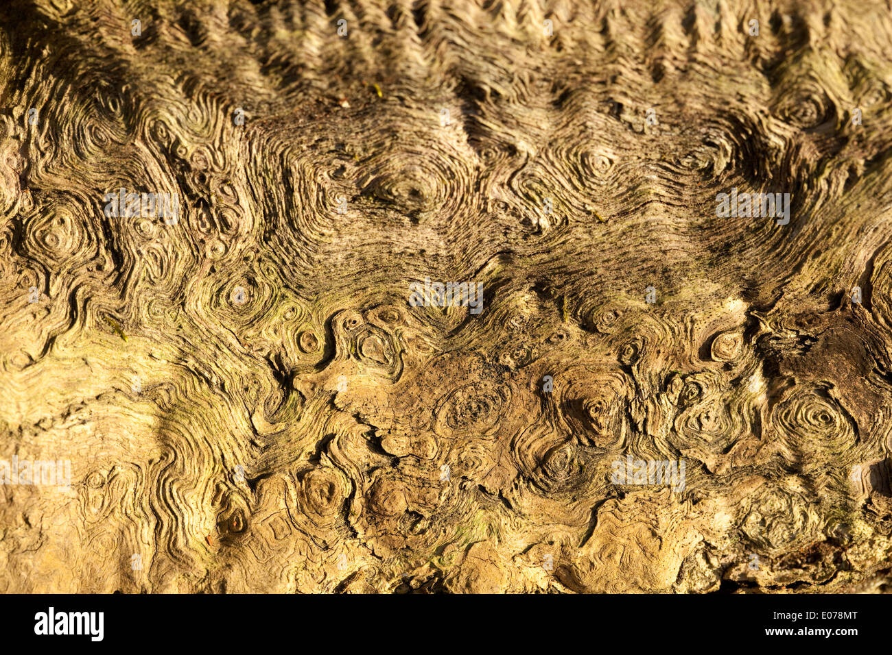 structure in wood oak (Quercus) as background - Stock Image