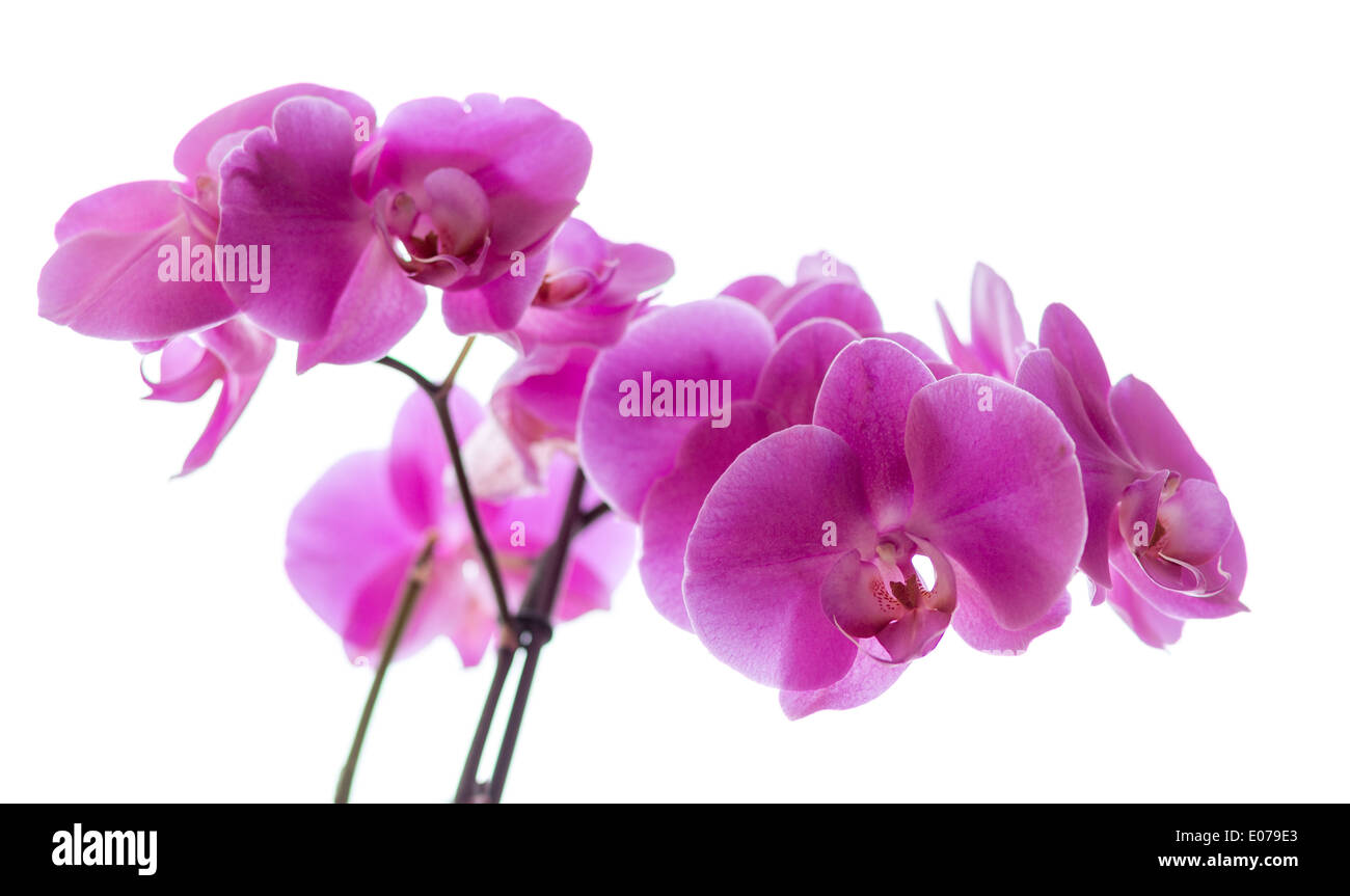 Orchid family, is the largest family of the flowering plants (Angiospermae). Its name is derived from the genus Orchis. - Stock Image