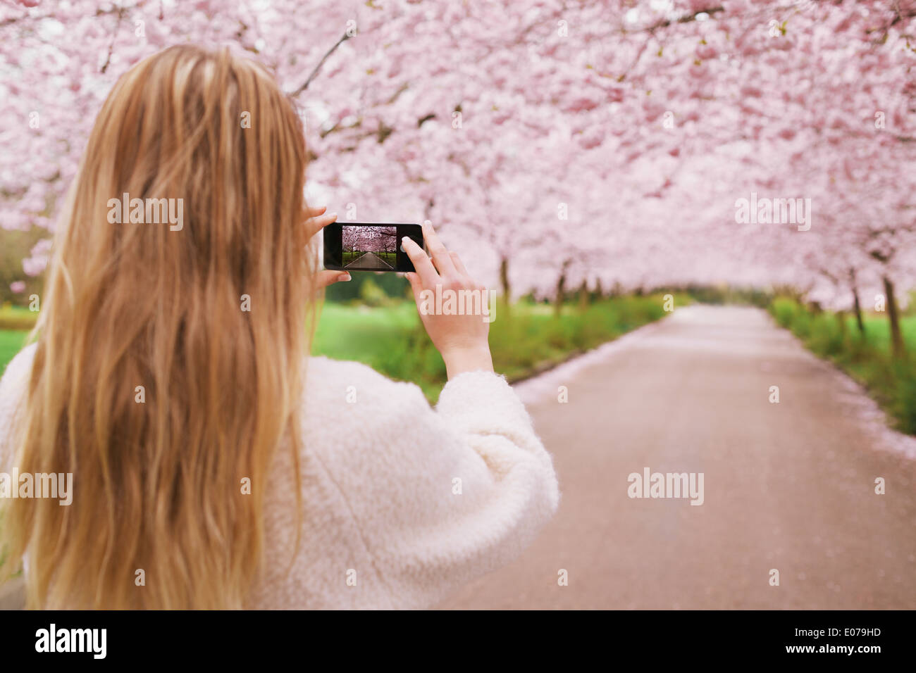 Young woman using her cell phone to capture images of the path and cherry blossoms tree at park. Rear view image of young female - Stock Image