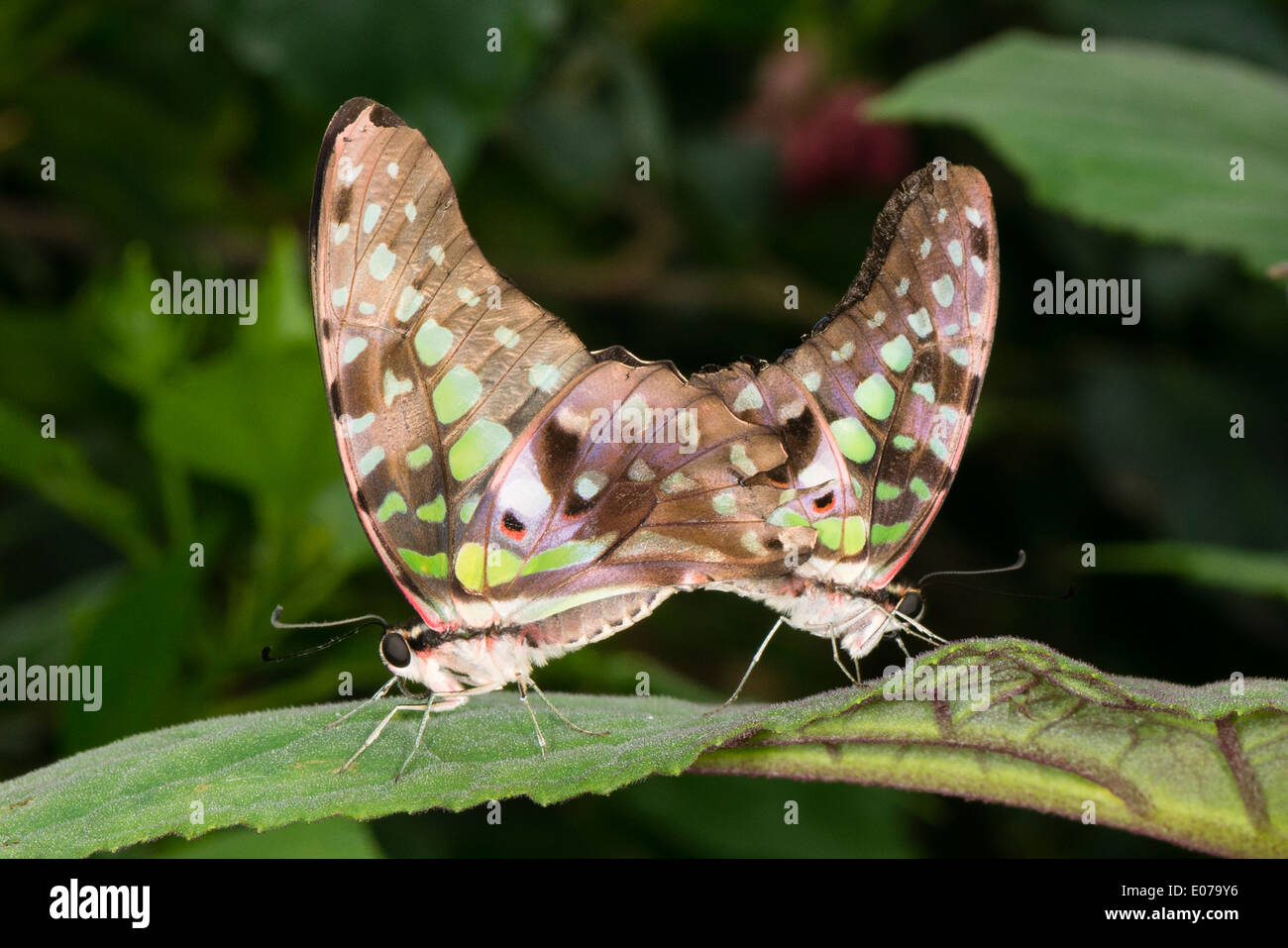 Green Triangle butterflies mating - Stock Image