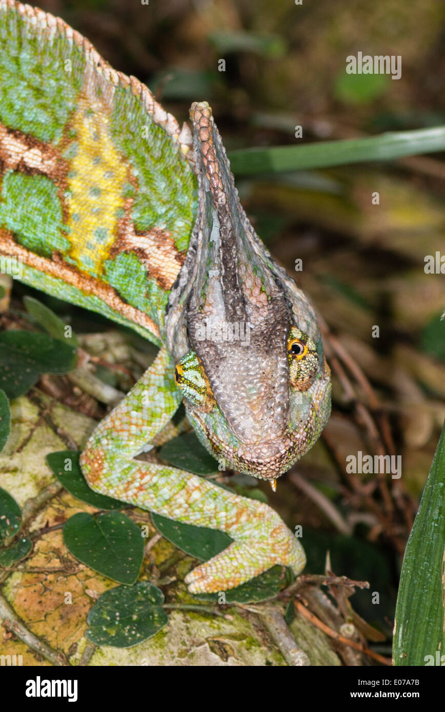 A Veiled Chameleon looking for food - Stock Image