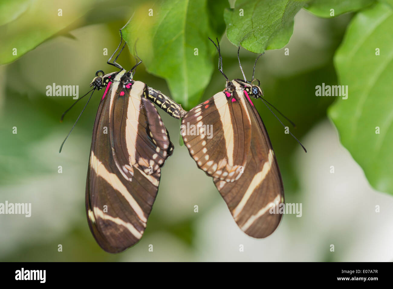 A pair of mating Zebra Longwings - Stock Image