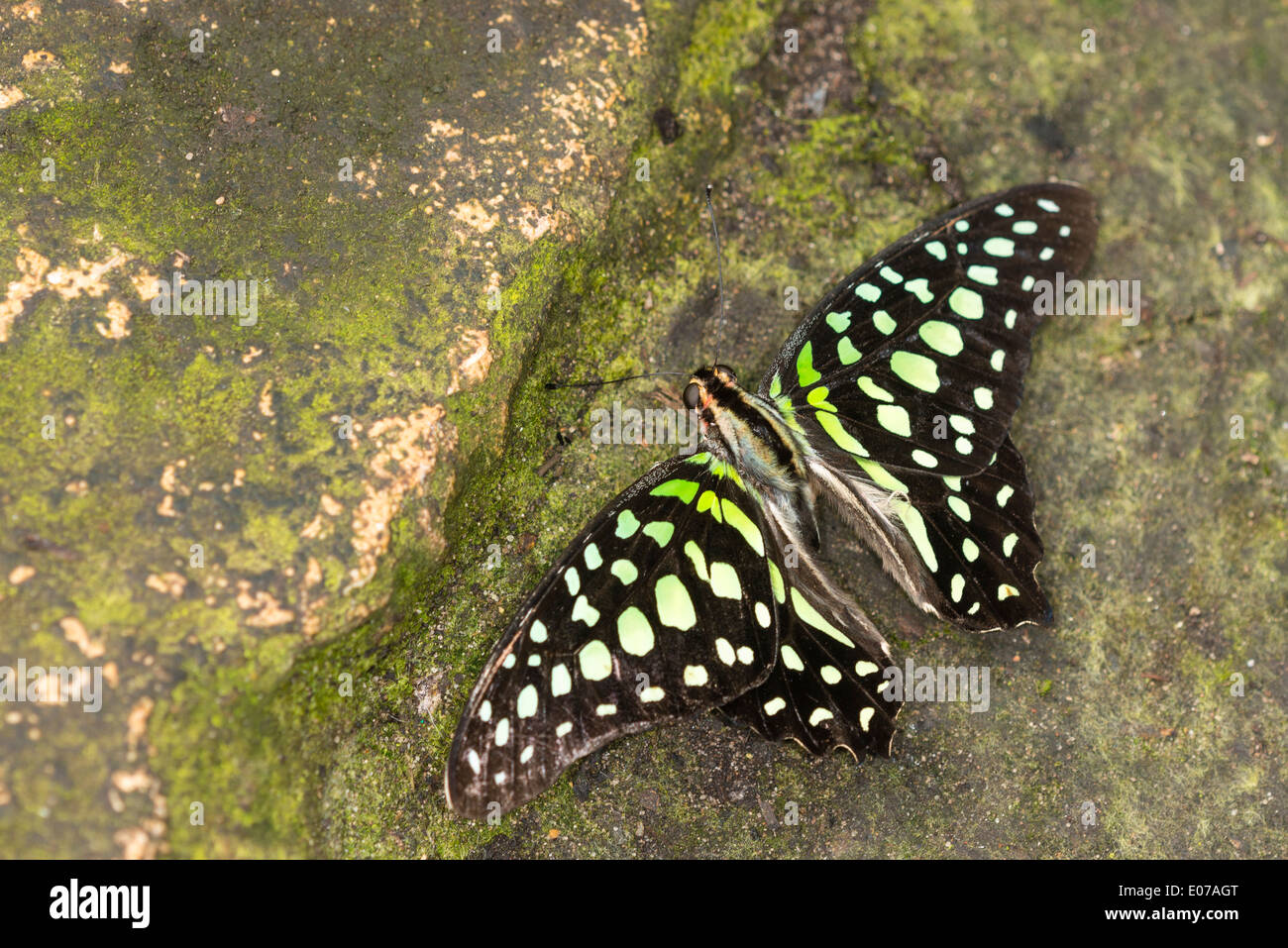 A Green-spotted Triangle resting - Stock Image