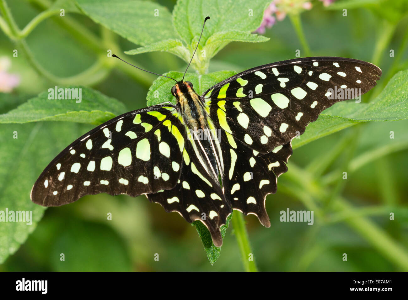 A Green-spotted Triangle feeding - Stock Image