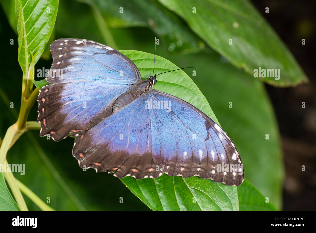 An adult Blue Morpho butterfly basking - Stock Image