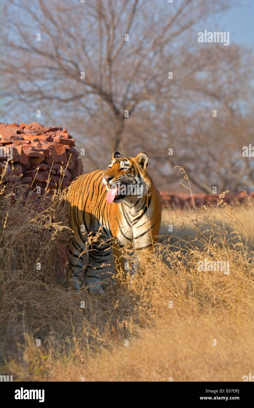Male tiger's flehmen response in the dry deciduous habitat of Ranthanbhore tiger reserve - Stock Image