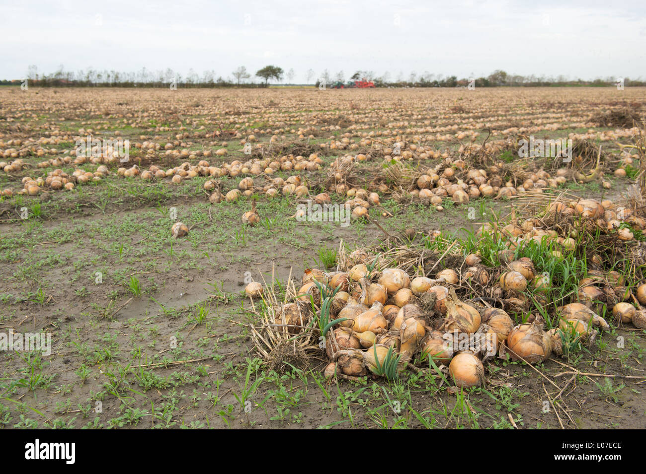 Harvest of onions in the agriculture fields of Dutch sealand - Stock Image