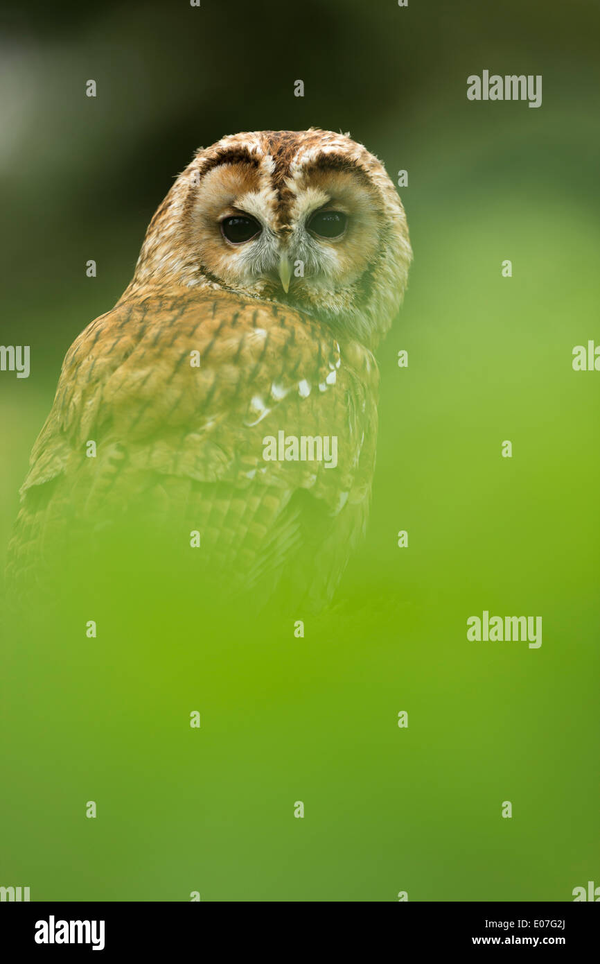 Tawny owl Strix aluco (captive), adult, perched on mossy log amongst leaves, Hawk Conservancy Trust, Hampshire, UK in April. - Stock Image