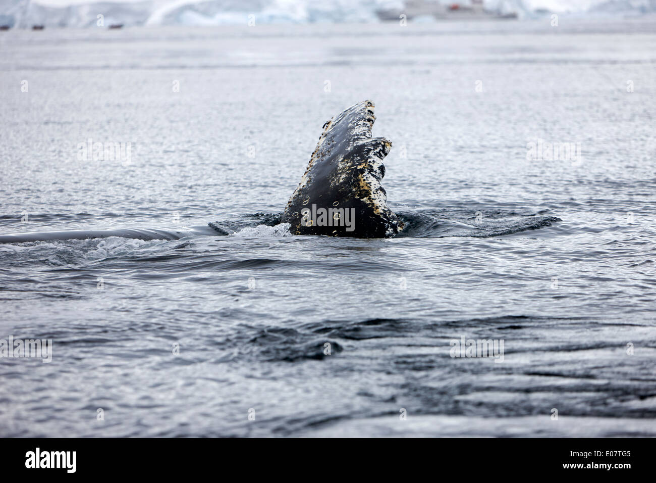 juvenile humpback whale pectoral fin slapping on surface of wilhelmina bay Antarctica - Stock Image