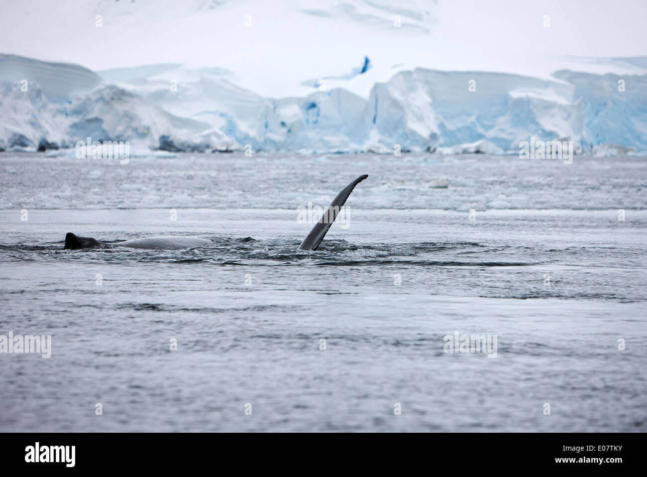 juvenile humpback whale pectoral fin slapping close to other whale on surface of wilhelmina bay Antarctica - Stock Image