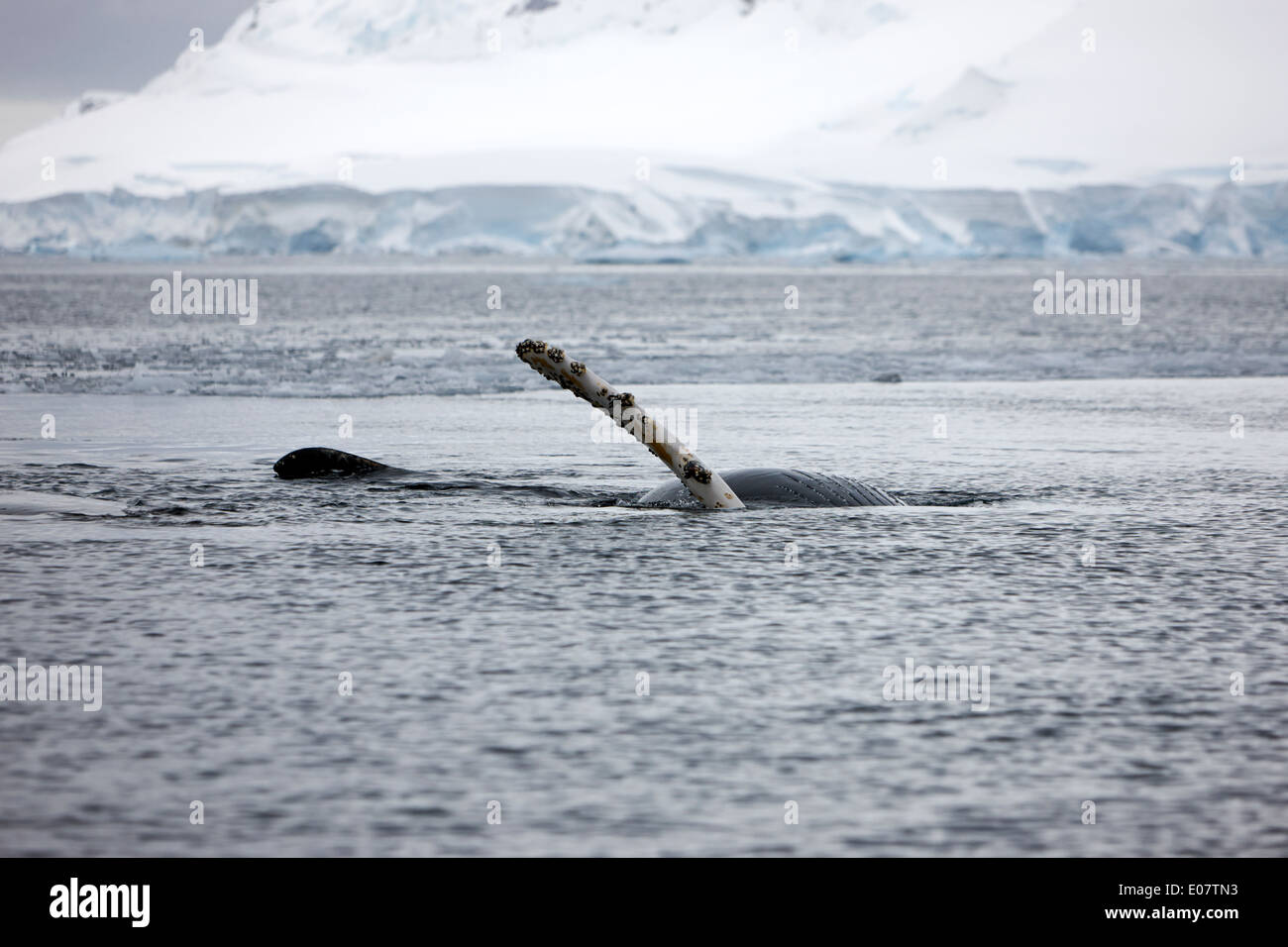 juvenile humpback whale pectoral fin slapping and rolling upside down showing baleen on surface of wilhelmina bay Antarctica - Stock Image