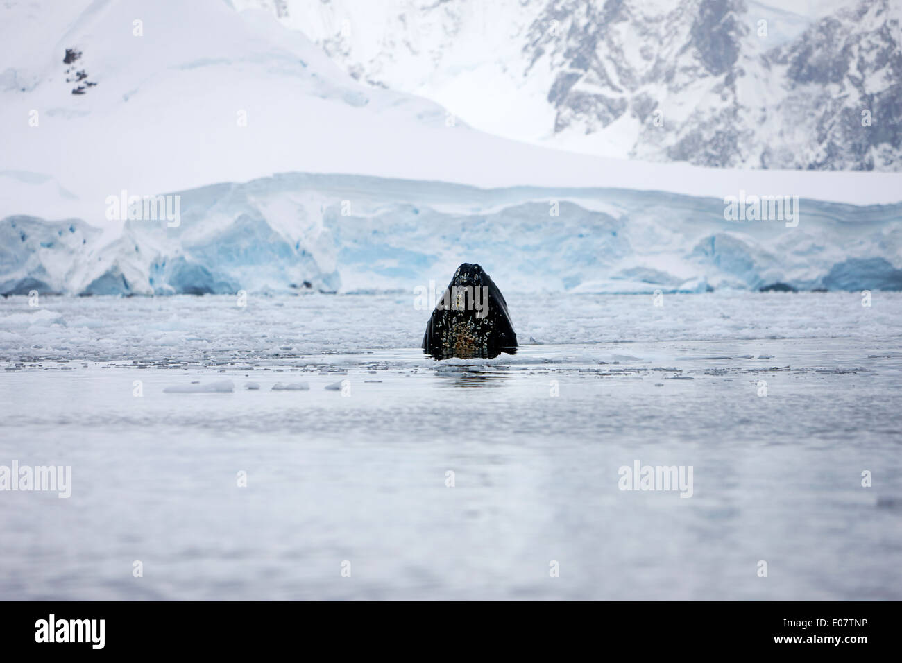 mouth of humpback whale breaking surface whilst feeding in wilhelmina bay Antarctica - Stock Image
