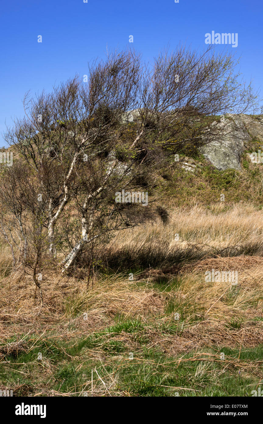 A birch on an exposed area of heath blown from upright by the prevailing wind - Stock Image