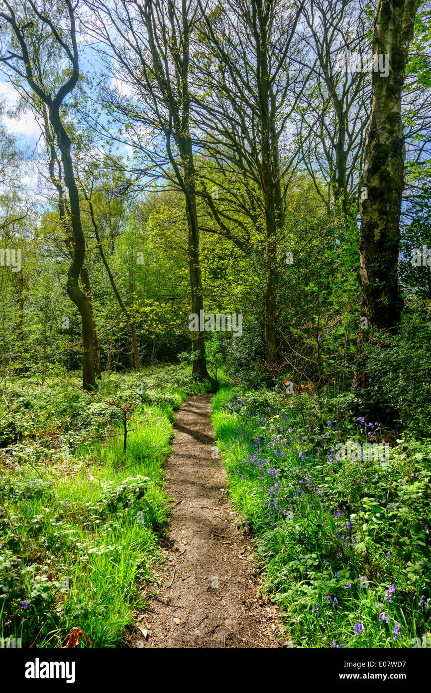 Bluebell wood on a public footpath near Holmfirth, Holme Valley, West Yorkshire, England, UK - Stock Image