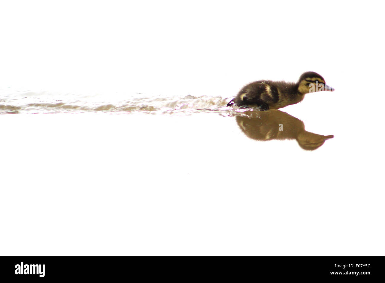 Mallard duckling running on water - Stock Image