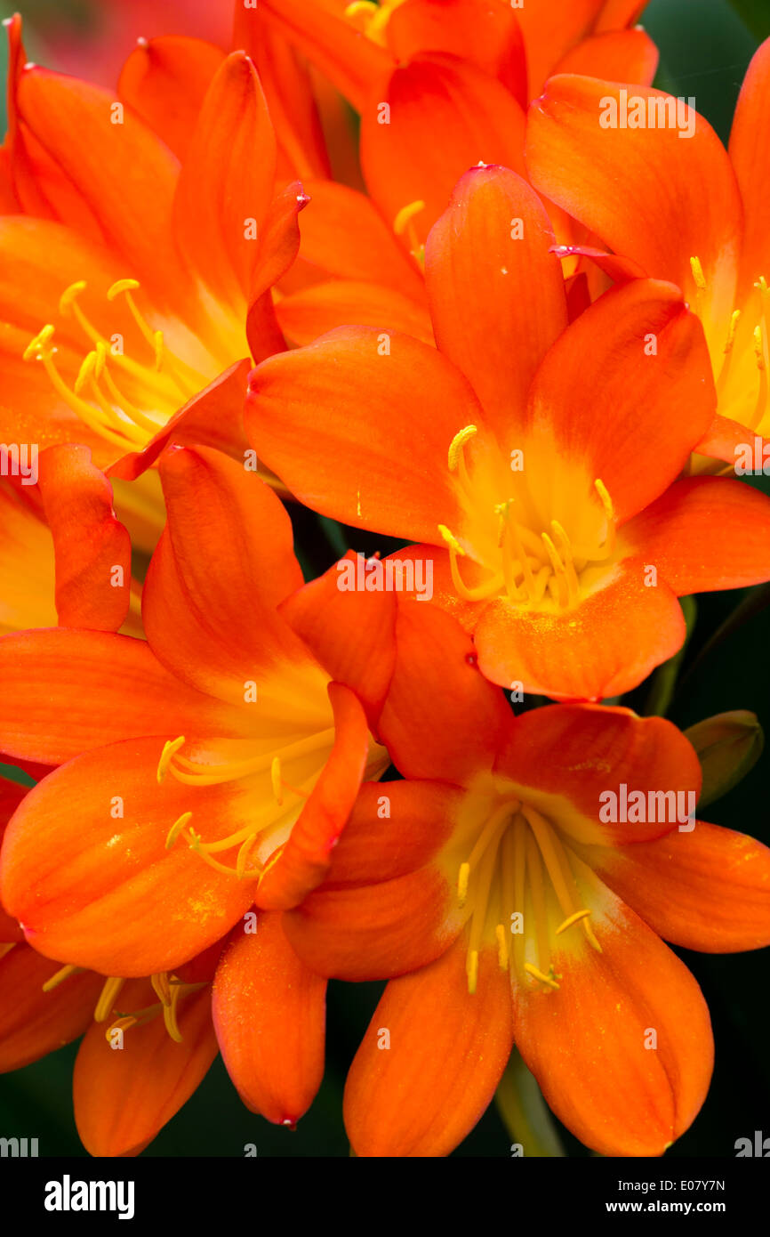 Close up of the flowers of the South African bulb, Clivia miniata - Stock Image