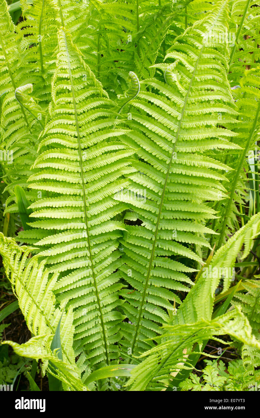 Fronds of the shuttlecock or ostrich fern, Matteuccia struthiopteris - Stock Image