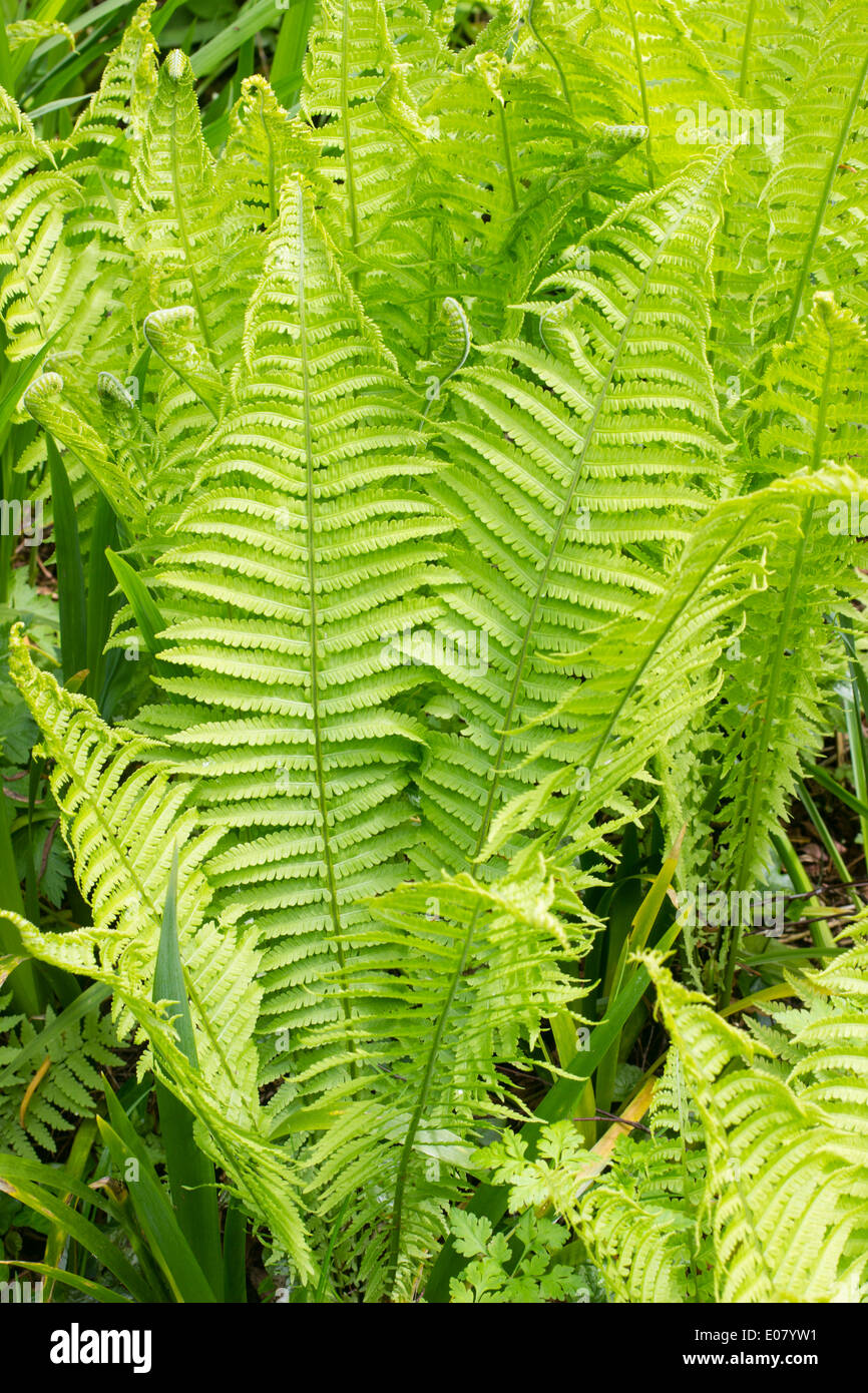 Fronds of the shuttlecock or ostrich fern, Matteuccia struthiopteris Stock Photo