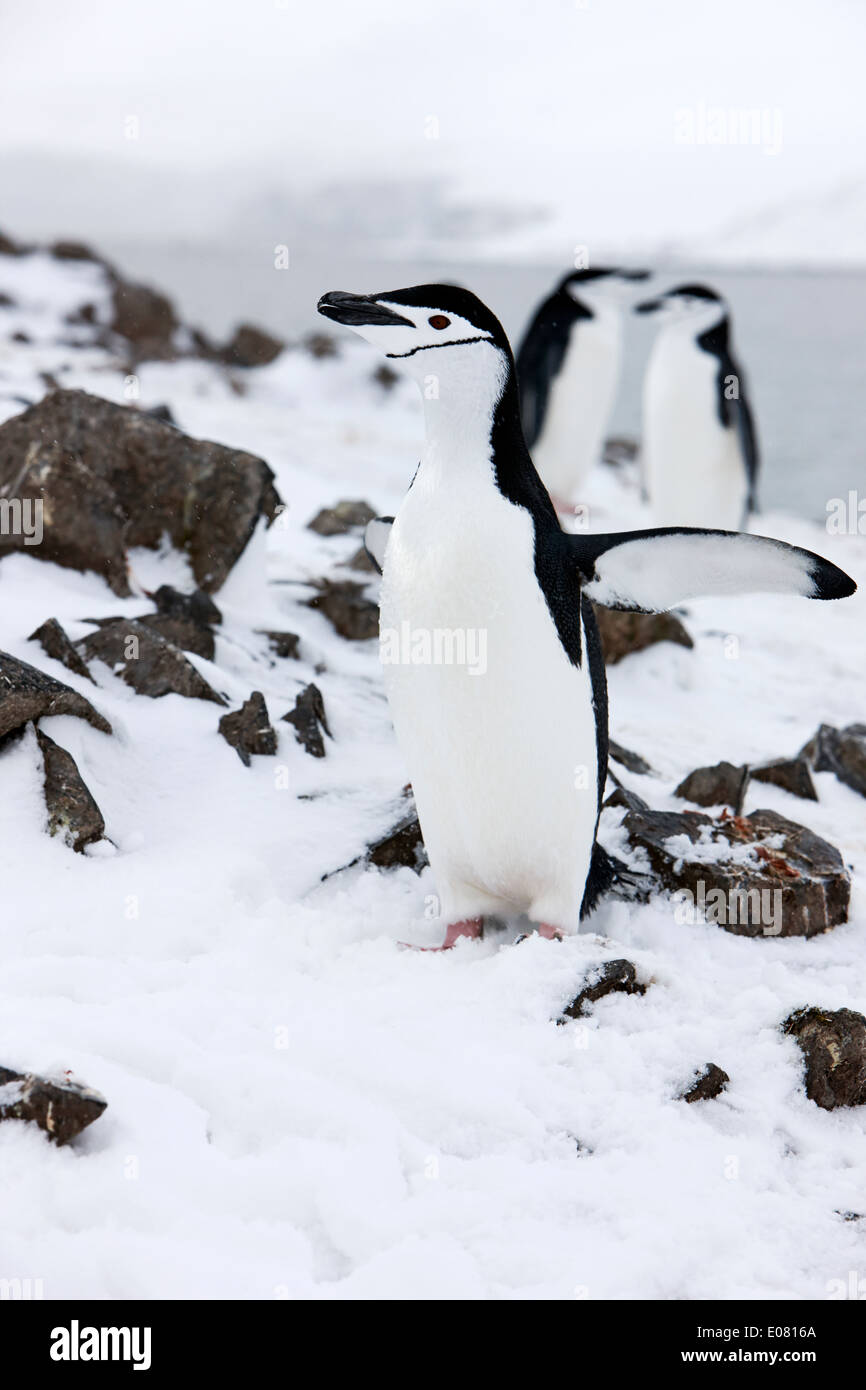 chinstrap penguin with wings outstretched cooling on hannah point Antarctica - Stock Image