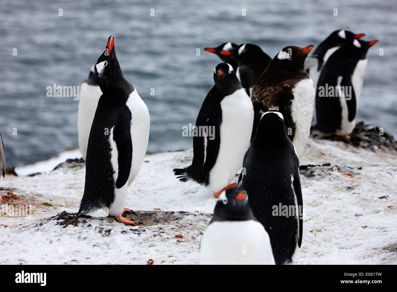gentoo penguin calling in colony of penguins on hannah point Antarctica - Stock Image