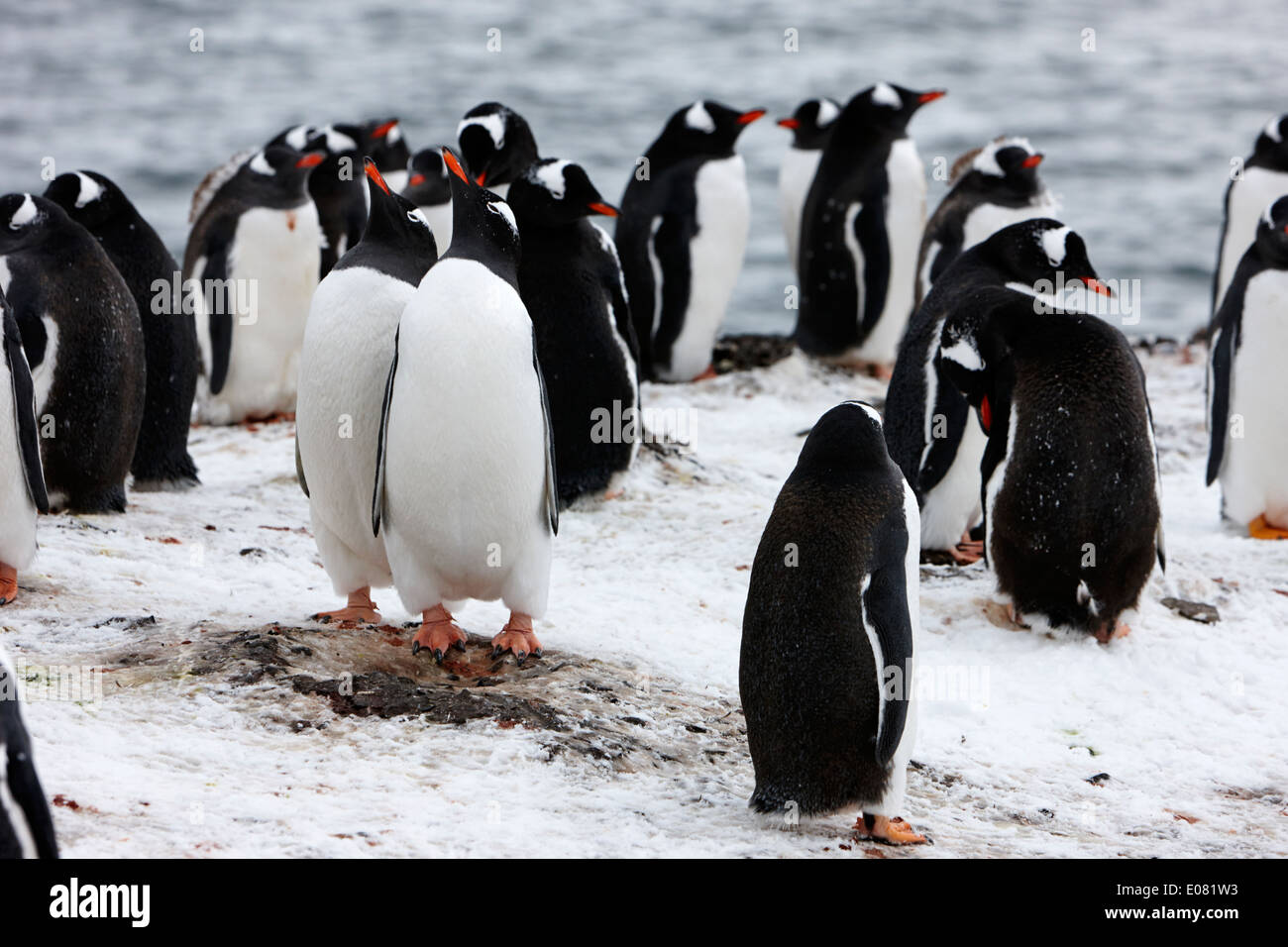 two gentoo penguins mimic behaviour as part of courtship on hannah point Antarctica - Stock Image