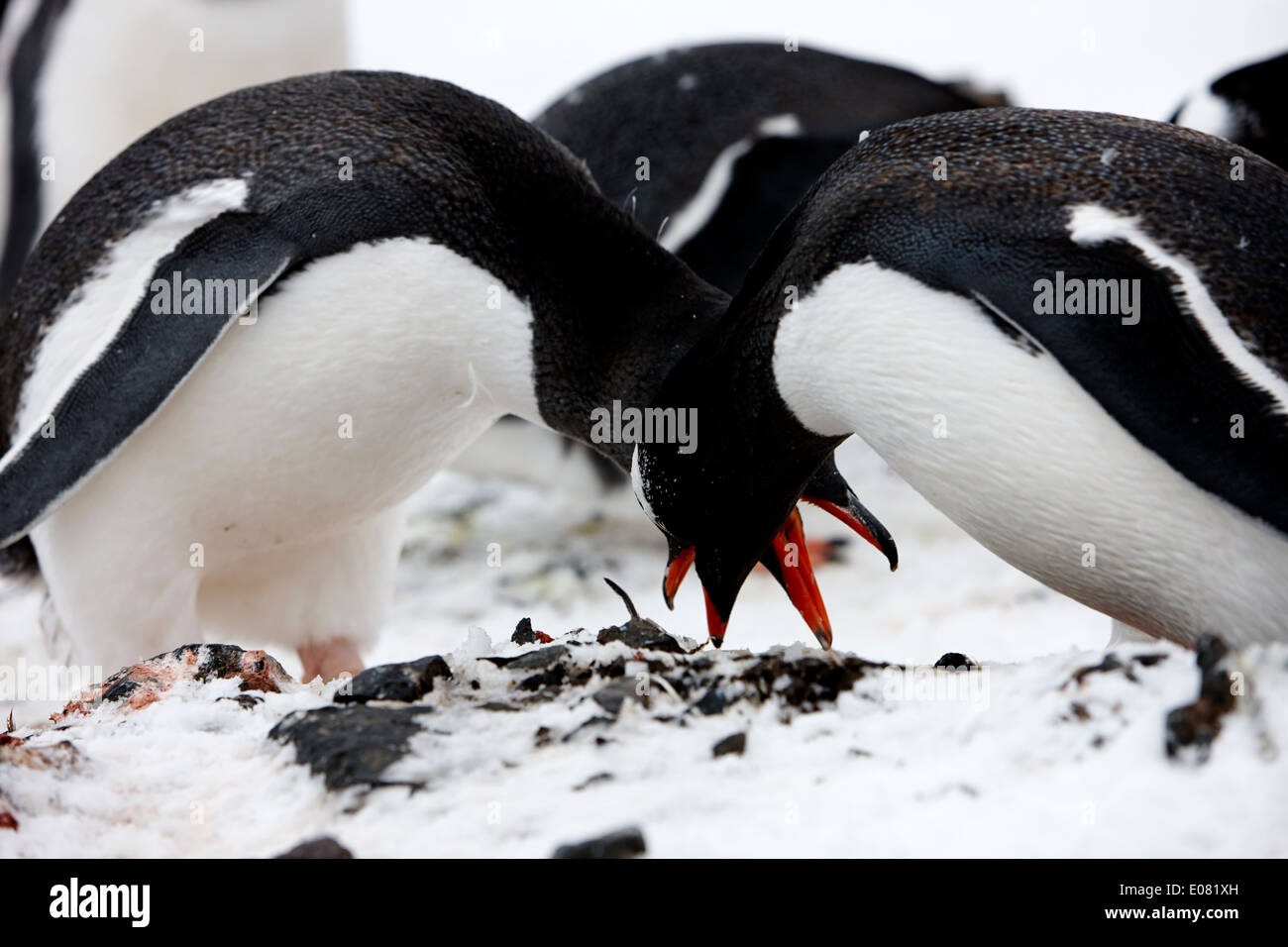 gentoo penguins bowing as courtship ritual on hannah point Antarctica - Stock Image