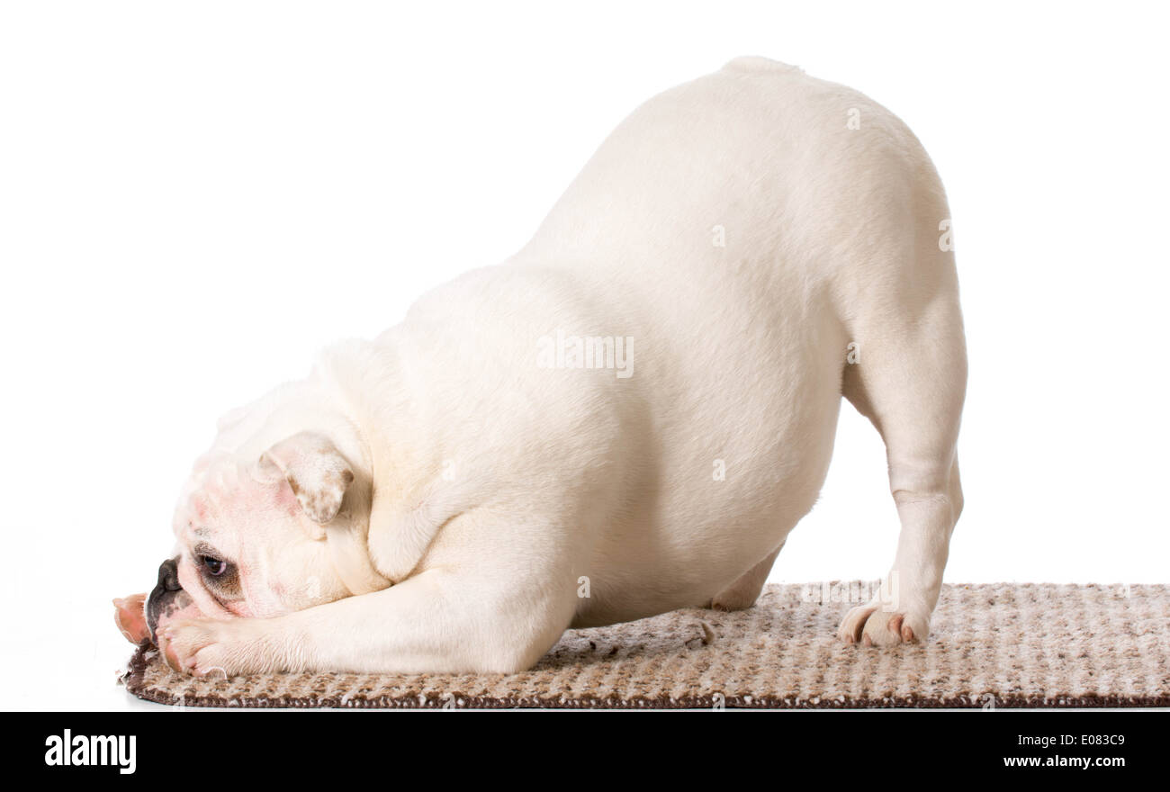 english bulldog bowing on the edge of a carpet - Stock Image