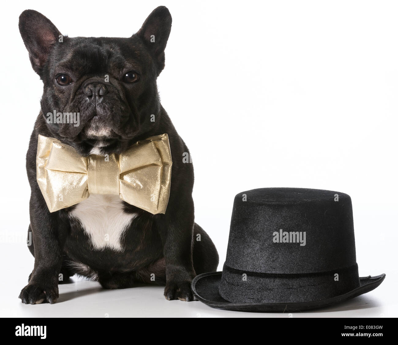 Frenchie Dressed Up High Resolution Stock Photography And Images Alamy