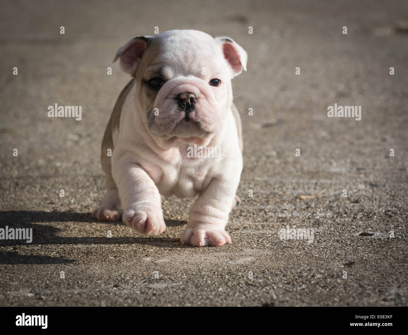 English Bulldog Puppy Running Outside 6 Weeks Old Stock Photo