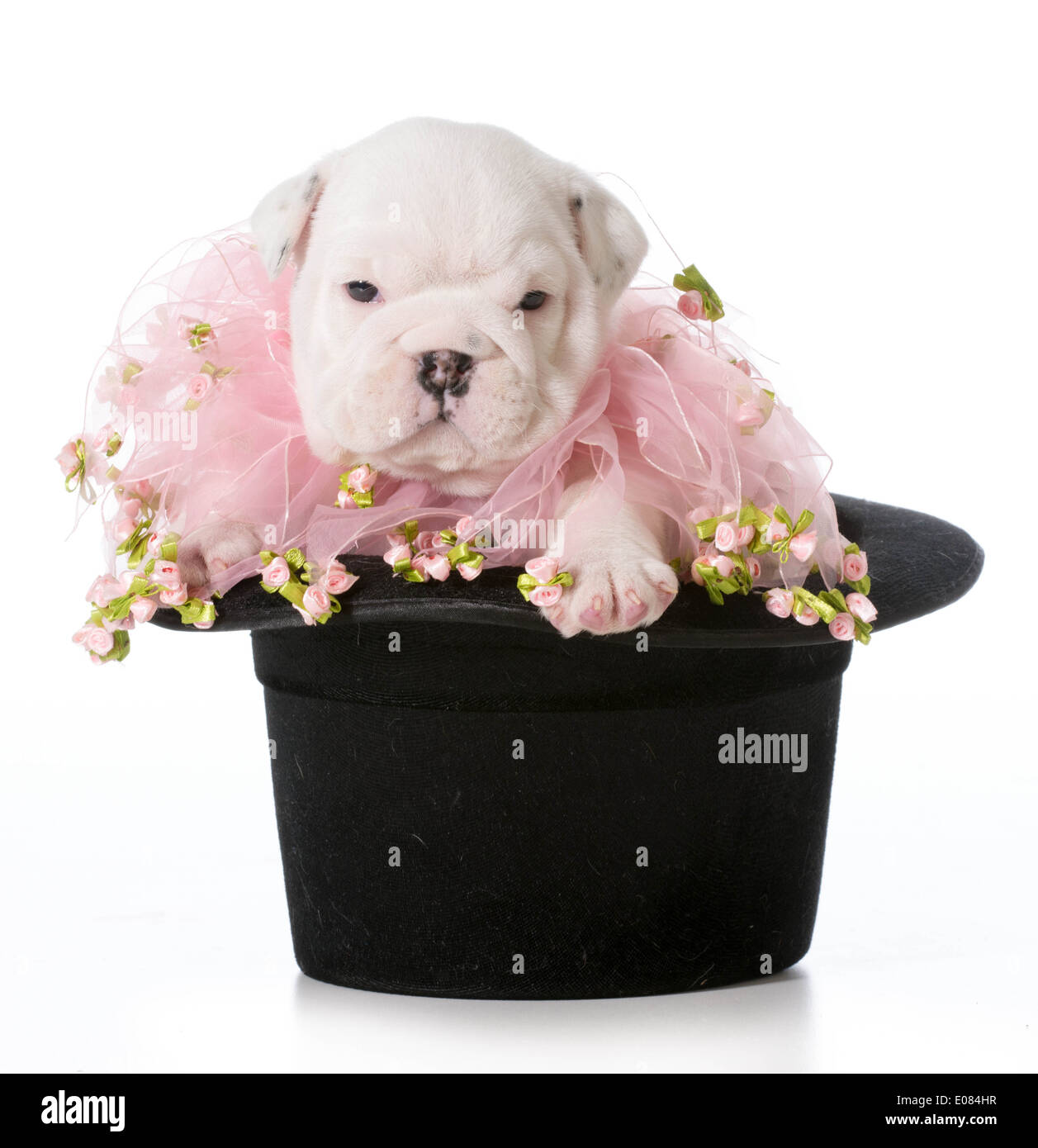Cute Puppy English Bulldog Puppy Sitting In A Black Tophat Stock Photo Alamy