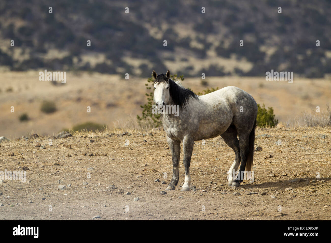 An appaloosa in New Mexico - Stock Image