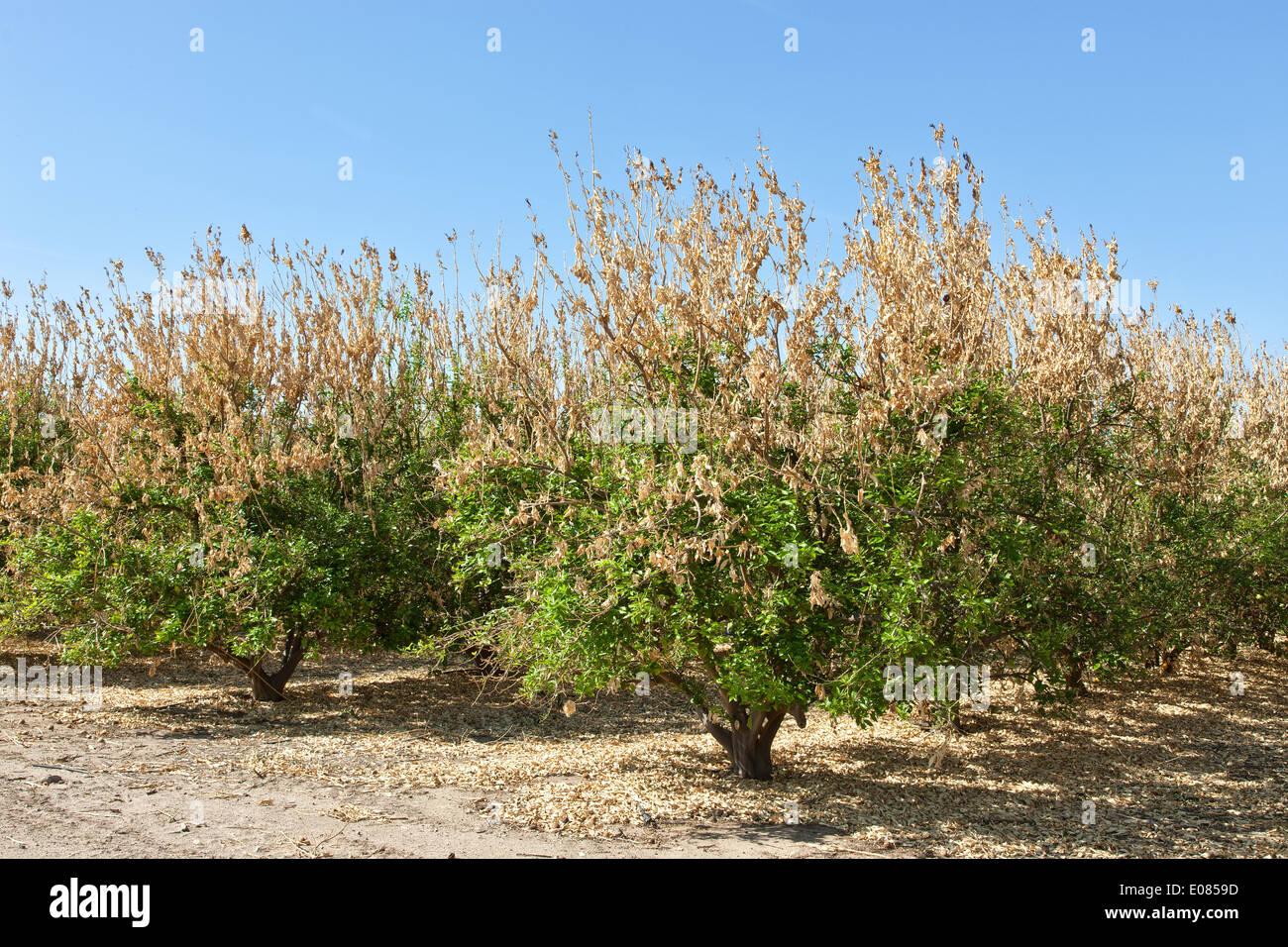 Frost damage, lemon orchard. - Stock Image