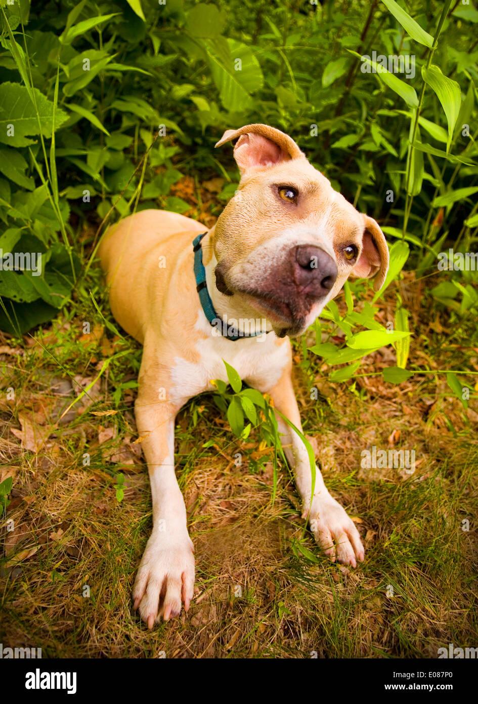Pitbull Puppy Stock Photos & Pitbull Puppy Stock Images - Alamy