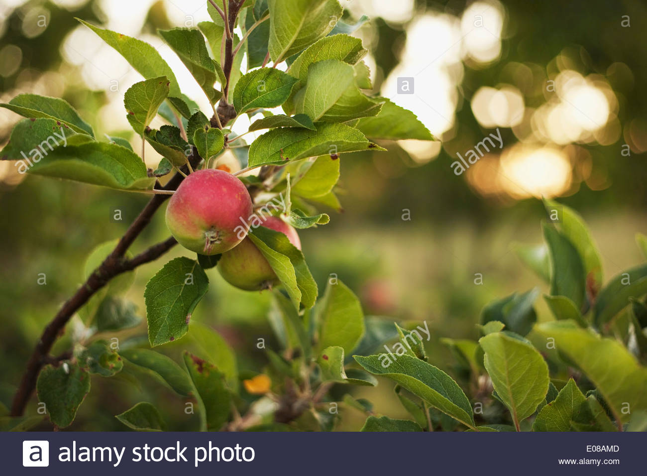 Apples growing on tree - Stock Image