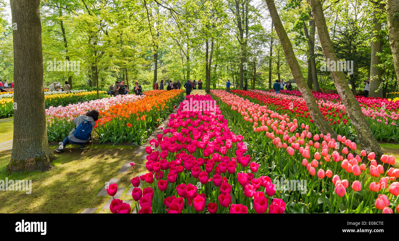 KEUKENHOF MULTI COLOURED ROWS OF DUTCH TULIPS WITH TREES IN SPRINGTIME HOLLAND - Stock Image