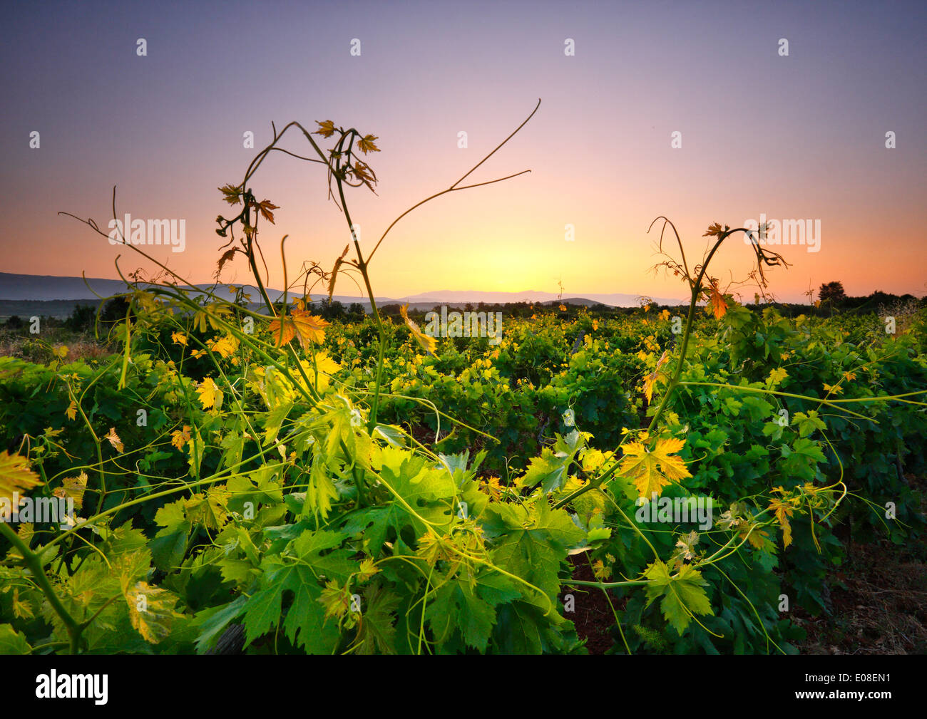 Landscape of sunrise in vineyard. Island Hvar, Dalmatia, Croatia Stock Photo
