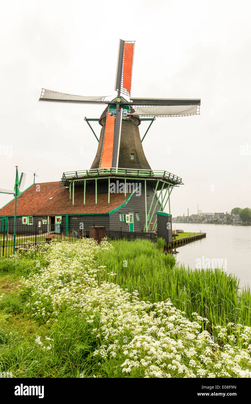 WINDMILL AT ZAANSE SCHANS WITH ORANGE SAILS AND WATER HEMLOCK FLOWERS ALONG THE CANAL IN SPRINGTIME NETHERLANDS - Stock Image