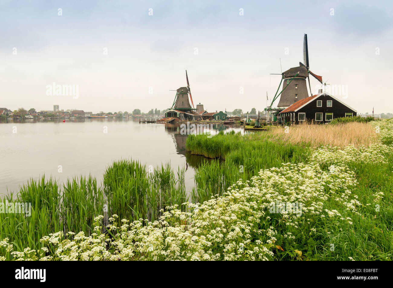 WINDMILLS AT ZAANSE SCHANS WITH CANAL AND WATER HEMLOCK FLOWERS IN SPRINGTIME HOLLAND - Stock Image